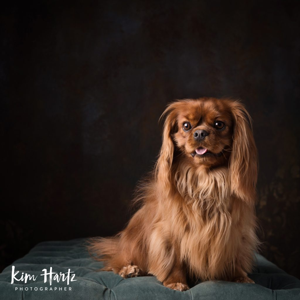 Kim Hartz + Pet Photography + Cavaliers
