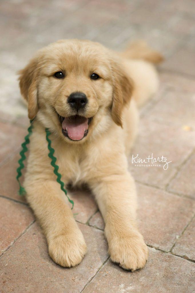 abby, golden retriever, dog photographer