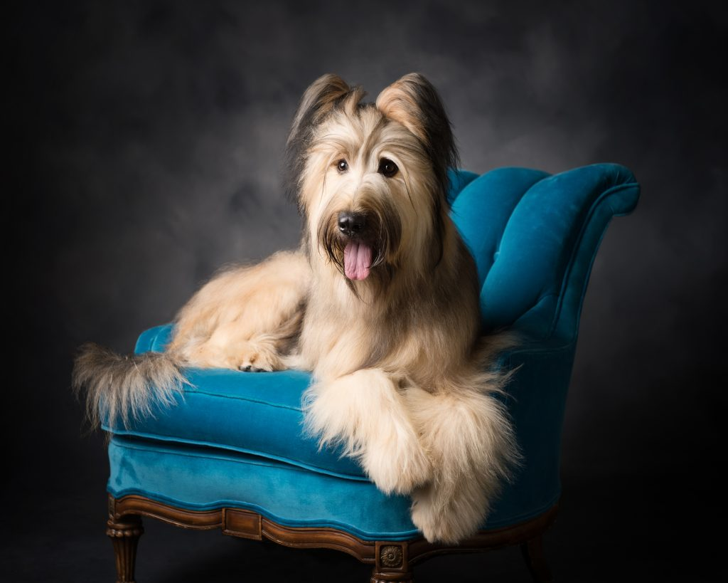 briard, pet photography, pet portraits